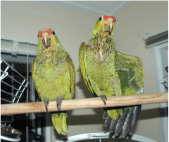 This pair of unwanted birds were among the first to be dropped off at Belize Bird Rescue.